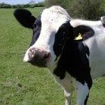 cow-thumb-640xauto-79145.jpg