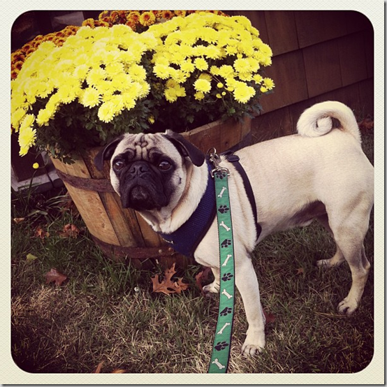 fallpugwalk