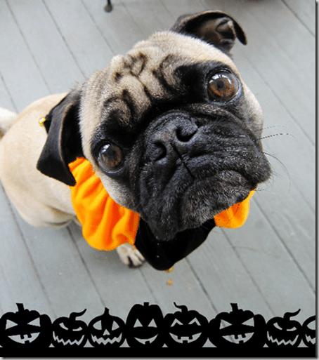 halloweenpug