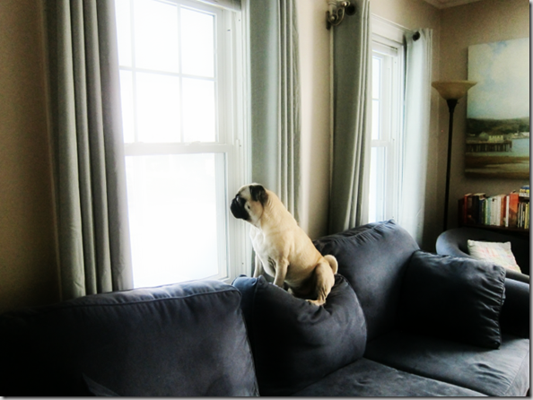 puglookingoutwindow