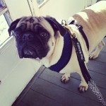 Pug-Therapy-Visit.jpg