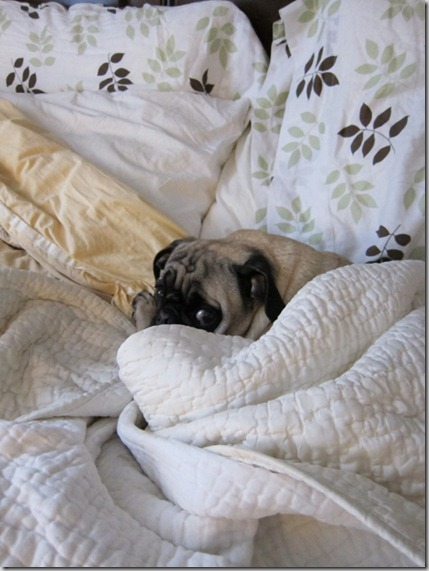 lazy pug (563x750)