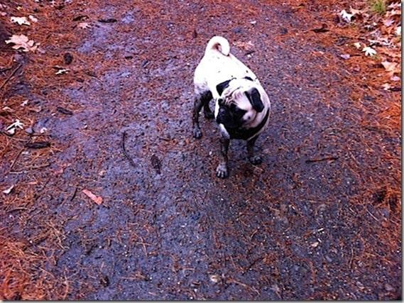 muddy pug