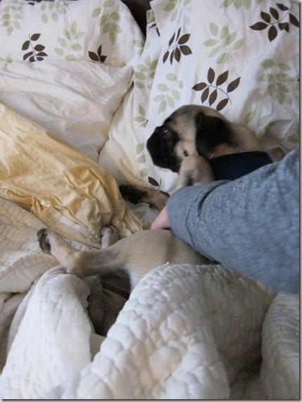super duper lazy pug (563x750)