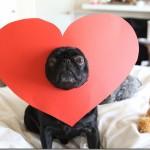pug_heart