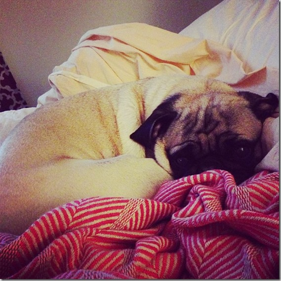 Not a fan of mornings pug