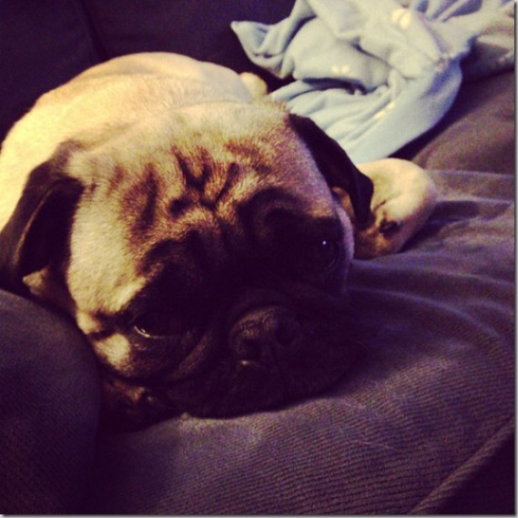 exhausted pug