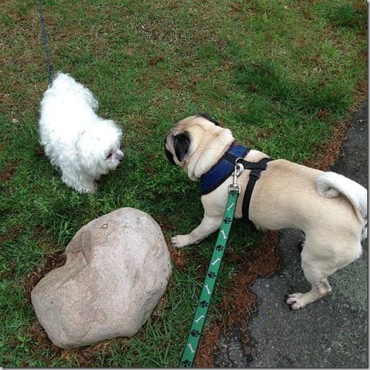 pug playtime