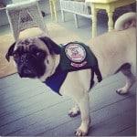 pug therapy dog