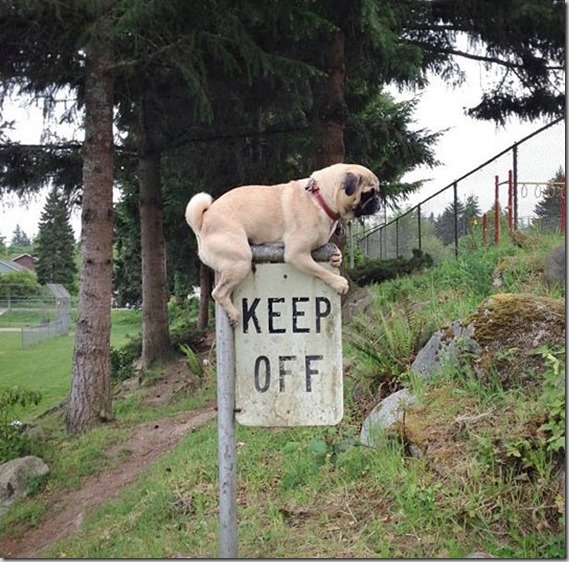 funny-dog-pug-keep-off-sign1