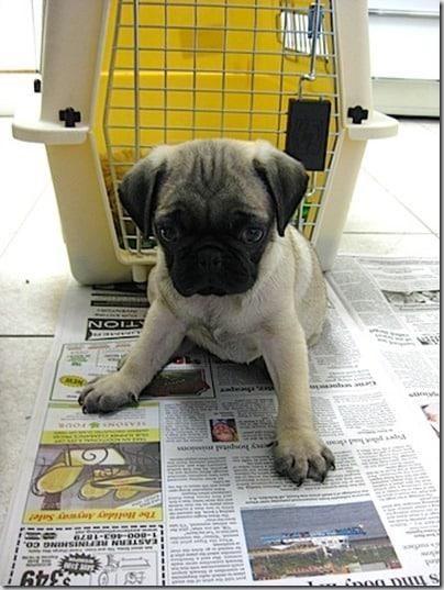 murphy pug puppy