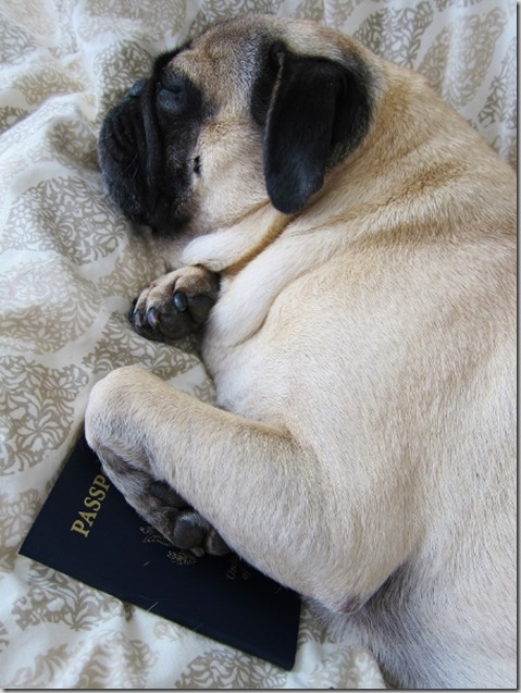 pug passport travel