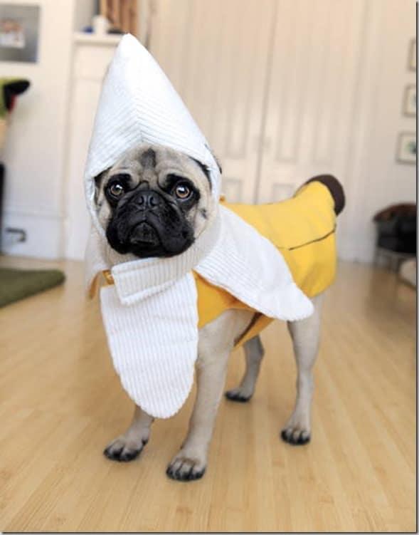 halloween pug banana - Pugs Halloween Costumes