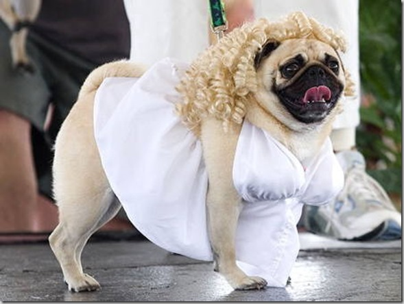 halloween-pugs-marilyn