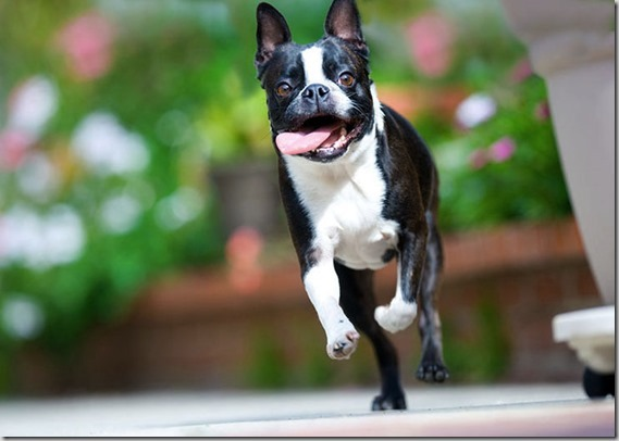 boston-terrier-running
