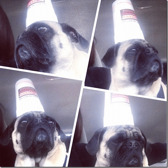 pug_with_a_cup_on_his_head