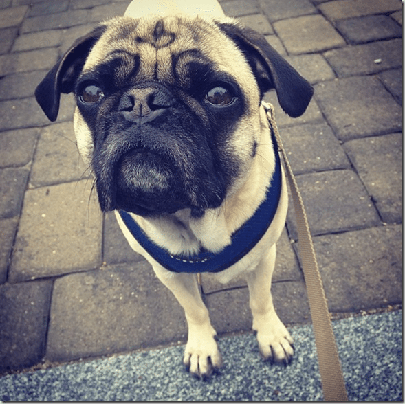 I_love_this_pug_face._