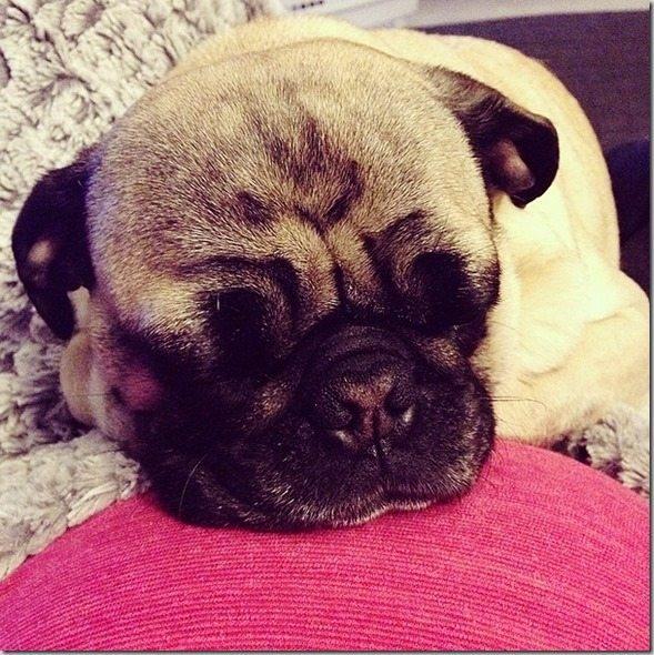 cuddle_pug_ (2)