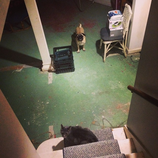 Pug-cat face-off. #puglove #pugsofinstagram #pugvscat #lovernotafighter