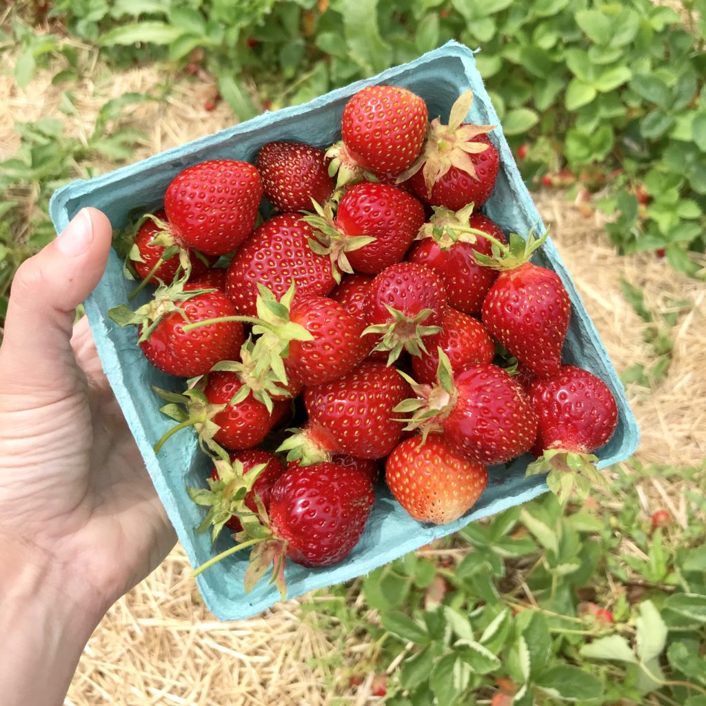 pick-your-own strawberries in a pint on South Shore, Massachusetts farm